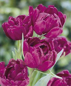 Інтерфлора Україна : Тюльпан повний пізній Блу Даймонд - Тюльпани / Повні тюльпани