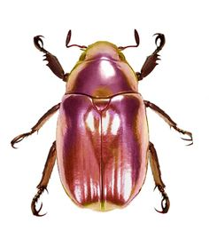 Chrysina optima pink form