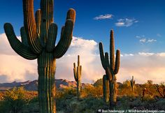 Saguaro cactus at McDowell Mountain Regional Park, AZ