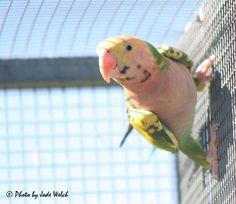 Mutation Moustache Parrot