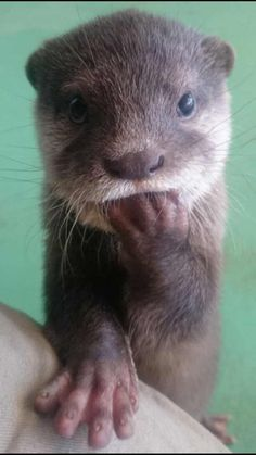 Too cute. Even otters bite their fingernails. Baby Otters, Otters Cute, Cute Baby Animals, Animals And Pets, Funny Animals, Cute Animals Images, Wild Animals, Tier Fotos, Cute Creatures