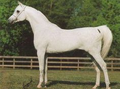 Horse Pedigree Database | Sinan Al Rayyan | Arabian, Egyptian