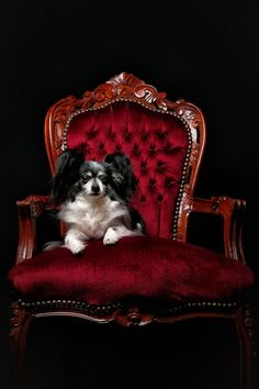 king on a chair Chair Photography, Black Background Photography, Beautiful World, Black Backgrounds, Color Combos, Dogs And Puppies, Red And White, Cute Animals, King