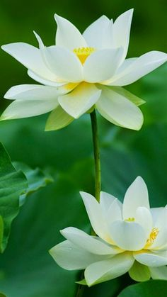 FLOWERS:  History of the Lotus
