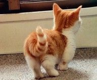 Munchkin cat...want one of these little cuties!!!