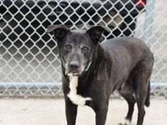 MAX - A0425708 - - Brooklyn  Please Share:TO BE DESTROYED 09/25/16: ****NEW HOPE ONLY**** Quite a few years ago, senior boy Max had a stay in ACC so one can imagine his dismay when his owner brought him back for reasons that are somewhat vague. What is learned from his notes are that Max lived in harmony with 2 adults and liked playing with children who visited, that he was used to two walks a day, that he was friendly with other dogs but did not like cats, and that at the