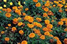 RHS Plant Selector Tagetes erecta 'Inca Orange' (Inca Series) / RHS Gardening - Another! Summer Bedding Plants, Hardy Plants, Annual Plants, Marigold, Seasons, Landscape, Gardening, Green, African