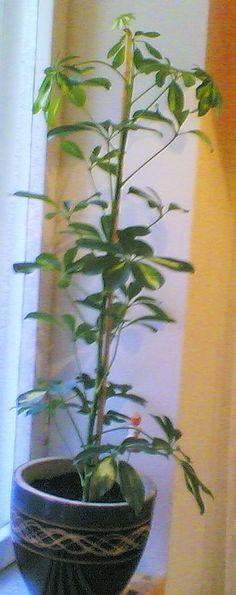 Tietoja kasvista Siroliuska-aralia, Schefflera arboricola, paraplyaralia. Runsas hajavalo. Talvella pudottaa lehtiä, ellei saa tarpeeksi valoa.