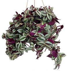 """Purple Wandering Jew - 6"""""""" Hanging Pot - Easy to Grow House Plant - Inch Plant"""