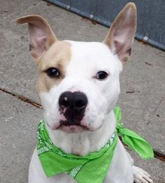 NOVA - A1097853 - - Manhattan  Please Share:TO BE DESTROYED 12/04/16  A volunteer writes: Nova is a great name for this young man, full of energy and just out of puppyhood. He might be quiet in his kennel, but once out, he is as fast as a comet. We are told he is house trained, and he surely does his business along the way to the park. He sits beautifully on command, with or without treats. He does love turkey jerkies, and will search my goodies bag for them. Nova needs to