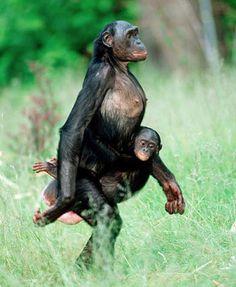 Comme la femme chez l'humain, les bonobos femelles portent leur bébé sur la hanche gauche.