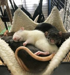 Cute Creatures, Beautiful Creatures, Animals And Pets, Funny Animals, Pet Rodents, Cute Rats, Tier Fotos, Cute Little Animals, Guinea Pigs