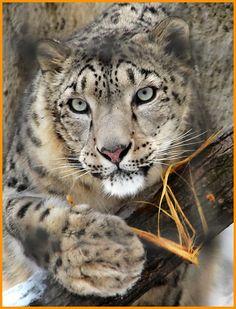 Snow Leopard. Just beautiful