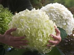 White annabelle hydrangea annabelle is the bell of the garden hydrangea incrediball also called the strong annabelle has beautiful robus branches and big white flowers this hydrangea remains a jewel in any garde even mightylinksfo