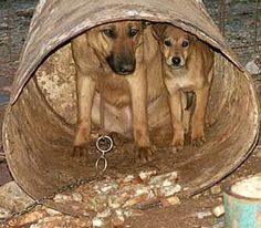 Help fight the chaining of dogs ~ Imagine sitting in a yard, tethered in place, with nothing to do and no chance to go anywhere. Day after day. That's what chaining is like. It is one of the commonest forms of animal cruelty