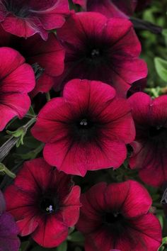 Petunia Easy Wave™ Velour Burgundy produces prolific velvety blooms that cover the vigorous mounding, spreading plants.