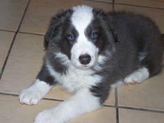 Blue/white Border Collie Puppy