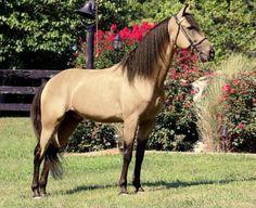 Buckskin Rocky Mountain Horse stallion, Caudill's Spirit.