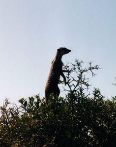 Meerkat, Addo Elephant Park, Eastern Cape, South Africa