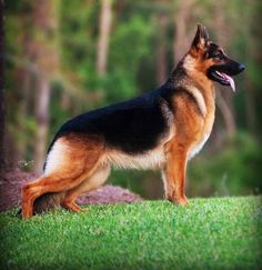 """The German Shepherd Dog, A Grand Champion Breed. A Show Dog, Police Dog, Grard Dog, Military & Private, Sled Dog, Seeing Eye, Hunting & tracking among other skills and an excelent family pet. Ave size males stands at 26"""" at shoulder and 85 lbs. Some shepherd can grow as tall as 27-28"""" and weight 100 lbs.  My Shepherd was 27"""" and 96 lbs."""