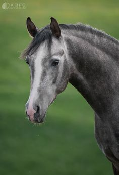 Grey Horse by Tanya Kozlovsky (KOFEstudio) Horses And Dogs, Wild Horses, Animals And Pets, Most Beautiful Animals, Beautiful Horses, Zebras, Gato Grande, Majestic Horse, All The Pretty Horses