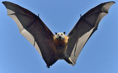 grey-headed flying fox | Grey Headed Flying Fox. DSC_2547 | Outa the way! I coming ...