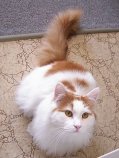 """I want a Turkish Van Cat like this one. They are nicknamed """"The Swimming Cats"""" cause they love water. Looks like my Trudy girl. I Love Cats, Crazy Cats, Cool Cats, Kittens Cutest, Cats And Kittens, Long Hair Cat Breeds, Turkish Van Cats, Long Haired Cats, Angora"""