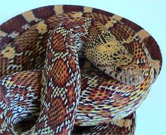Sonoran by Naja-pallida on DeviantArt Sonoran Gopher Snake