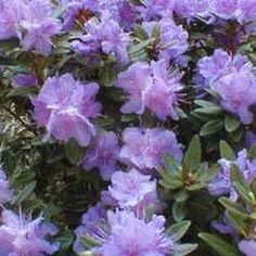 Purple Gem Bloom Rhododendron
