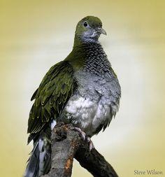 female Superb Fruit Dove (Ptilinopus superbus)