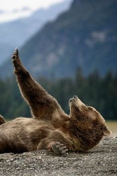Bear yoga Streching Teddy - By: (Olav Thokle) Nature Animals, Baby Animals, Funny Animals, Cute Animals, Baby Pandas, Wild Animals, Jungle Animals, Beautiful Creatures, Animals Beautiful