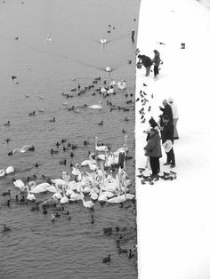 Marcin Ryczek - Feeding Swans in the Snow in Krakow, Poland. S)