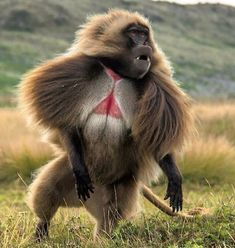 Male Gelada Baboon (Theropithecus gelada), or Bleeding Heart baboon, charging to take care of business. Interesting Animals, Unusual Animals, Rare Animals, Animals And Pets, Funny Animals, Beautiful Creatures, Animals Beautiful, Photo Animaliere, Funny Animal Pictures