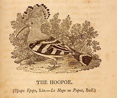 The Hoopoe, from Thomas Bewick's History of British Birds, Jane's preferred reading in the beginning of Jane Eyre