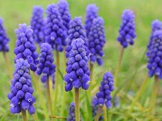 Grape Hyacinth Flowers, Hyacinth Plant, Bulb Flowers, Planting Bulbs In Spring, Spring Flowering Bulbs, Spring Bulbs, Purple Perennials, Flowers Perennials, June Flower