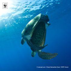 Le tartarughe marine attraversano nel corso della vita due diverse fasi ecologiche: all'inizio frequentano la zona superficiale del mare aperto e successivamente si spostano in fondali bassi. Scopri il mondo delle tartarughe: http://www.wwf.it/tartarugamarina/