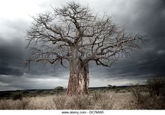 Baobab tree with bark removed from lower trunk by elephants. Weird Trees, Plant Sketches, Baobab Tree, Tree Photography, Big Tree, Fantastic Art, Bonsai, Train, Nature