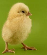 proud baby chick