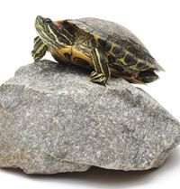 Red-Eared Slider Turtle Information and Care