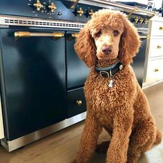 Popular for their trainability and pleased dispositions, the golden and Labrador retrievers are the option pet for lots of American families. They are also popular as impairment support pet dogs. Goldendoodle Grooming, Labradoodle, Dog Grooming Tips, Pet Tips, Poodle Haircut Styles, Chocolate Poodle, Red Poodles, Poodle Cuts, Dog Haircuts