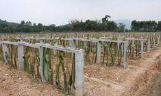 Dragon Fruit South Africa Cuttings For Sale - Planting Method Fruit Plants, Potted Plants, Como Plantar Pitaya, Cuttings, Trellis, Planting, South Africa, Succulents, Dragon