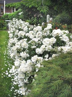 White Carpet Rose Standard Vidalondon