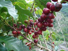 Coffee's humble beginnings