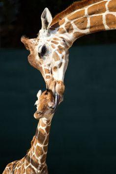 Baby giraffe born at Tampa Bay zoo. CUTE!