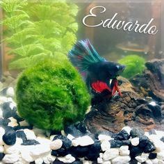 Garofalo family added another member this week. Seems pretty happy and hasn't died so I figure it's time to post his photo. #aquarium #winning #bettafish