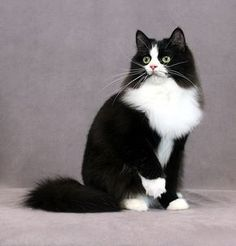 The RagaMuffin Cat - Black and White Tuxedo - Kittycat Crazy Cat Lady, Crazy Cats, Kittens Cutest, Cats And Kittens, Ragdoll Cats, Ragamuffin Cat, Maine Coon, Fancy Cats, All About Cats