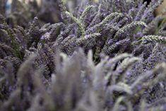 Wide shot lavender for sale, Portland Farmers Market for gardenista