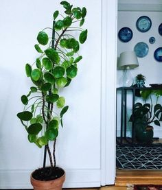 Pilea Peperomioides, indoor plants and greenery for he home Potted Plants, Garden Plants, Indoor Plants, Foliage Plants, Indoor Trees, Diy Garden, Hanging Plants, Shade Garden, Star Deco