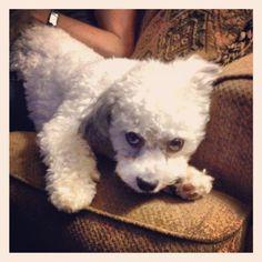 Teddy Bear - best dog I know #puppy #cute #dogs #puppylove
