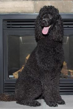 Beautiful Poodle. Black Standard Poodle, Standard Poodles, Poodle Haircut Styles, Boy Dog Names, Poodle Cuts, French Poodles, Horses And Dogs, Best Dog Breeds, Beautiful Dogs